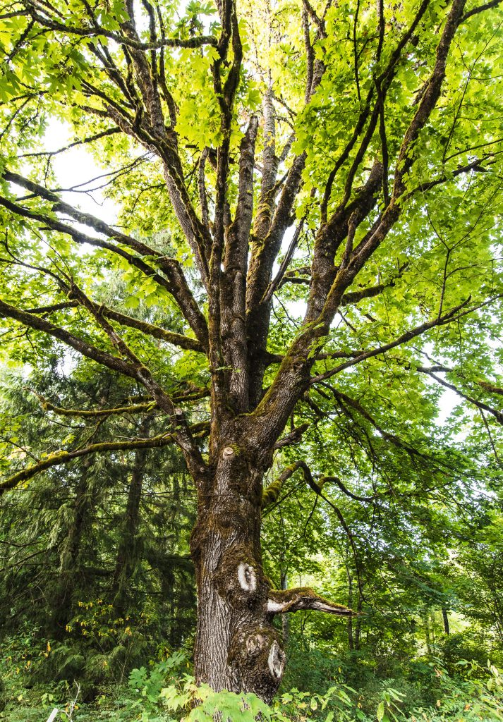 How To Estimate The Age Of A Tree Without Cutting It Down The